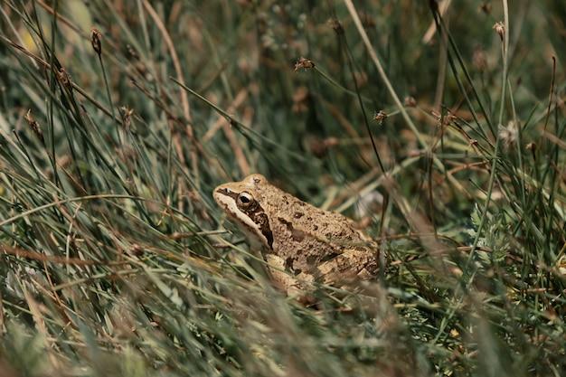 La grenouille dans l'herbe se détendant