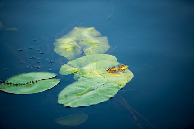 Grenouille dans la région du delta du danube, en roumanie, dans une journée d'été ensoleillée