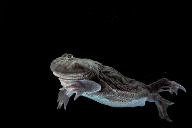 Grenouille hippopotame nageant dans l'eau lepidobatrachuslaevis
