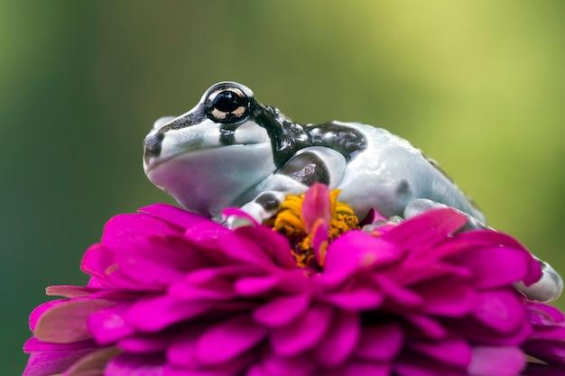 Grenouille de lait d'amazone sur le plan rapproché d'animal de fleur rouge