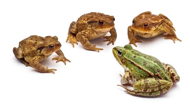 Grenouille rousse ou grenouille comestible (rana kl. esculenta) face à trois crapauds communs ou crapaud européen (bufo bufo)