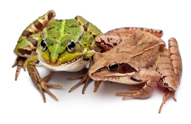 Grenouille rousse ou grenouille comestible - rana kl. esculenta et une grenouille des landes - rana arvalis