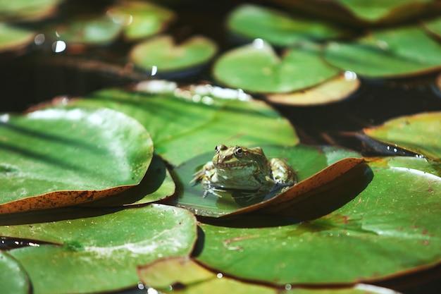 Une grenouille se repose sur les feuilles d'un nénuphar dans un jardin japonais