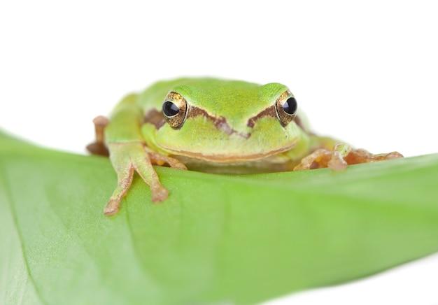 Grenouille verte aux yeux exorbités dorés sur une feuille