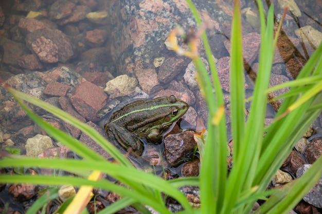 Grenouille verte dans l'eau sur des pierres parmi l'herbe