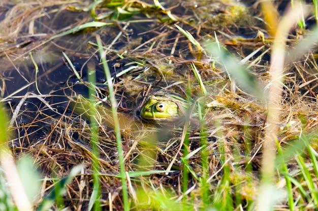 Une grenouille verte flottant dans l'eau avec une tête dépassant de l'eau et une herbe poussant sur la rive d'un petit marais avec de l'eau stagnante, gros plan