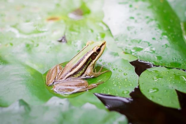 Grenouille verte (grenouille verte) assis sur une feuille de lotus dans un étang