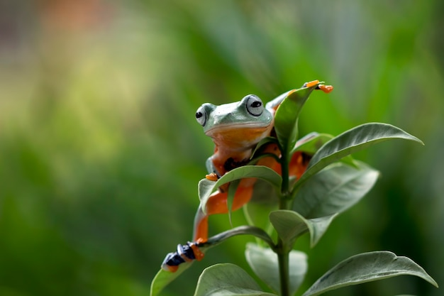 Grenouille volante assise sur des feuilles vertes, belle grenouille arboricole sur des feuilles vertes