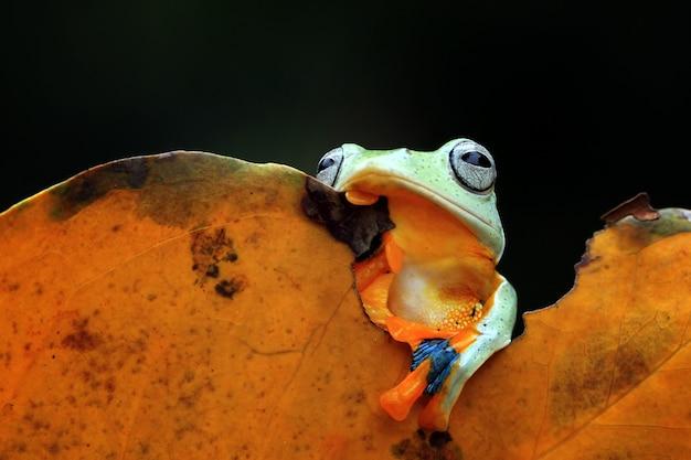 Grenouille volante assise sur des feuilles vertes