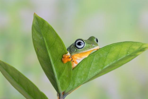 La grenouille volante verte sur une feuille