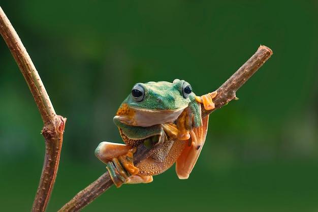 Grenouilles arboricoles flying frog assis sur une branche avec fond bokeh