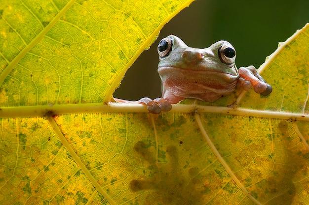 Grenouilles arboricoles flying frog assis sur une feuille verte