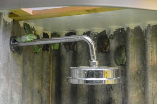 Grenouilles dans une salle de bain abandonnée brute. huit grenouilles dorment sous la douche.
