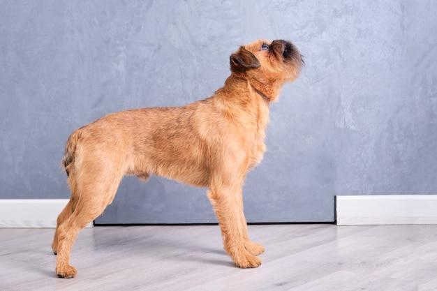 Un griffon bruxellois de race pure contre un mur gris après avoir été coupé dans le salon des animaux.