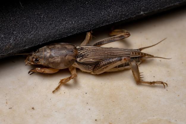 Grillon taupe adulte du genre neoscapteriscus