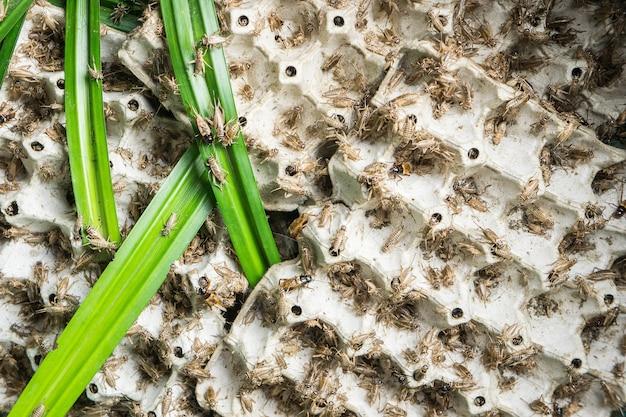 Les grillons, les insectes volailles qui sont nourris pour faire frire et manger comme un casse-croûte de la thaïlande.