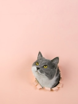 Gris beau chat mignon sort d'un trou dans du papier jaune. copie espace.