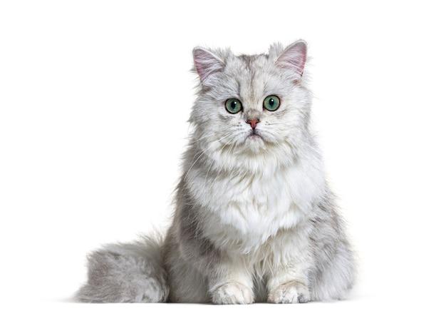 Gris british longhair assis, blanc