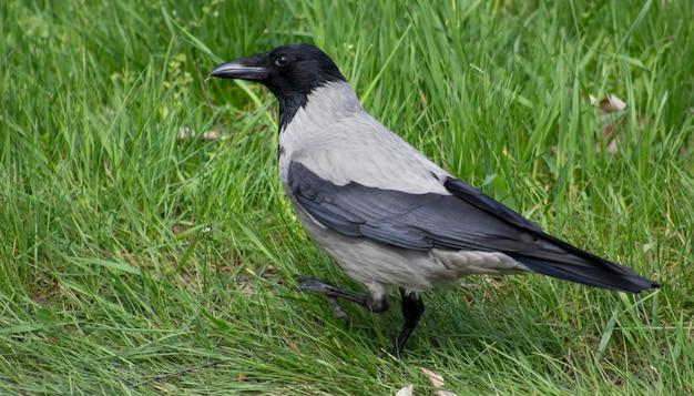 Gris avec corbeau noir sur l'herbe verte