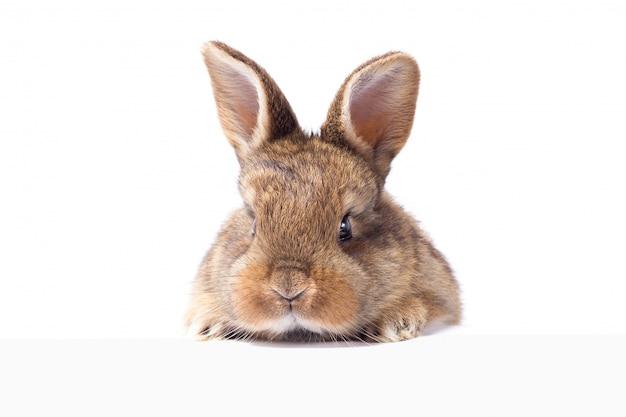 Gris lapin duveteux en regardant le panneau. isolé sur fond blanc lapin de pâques
