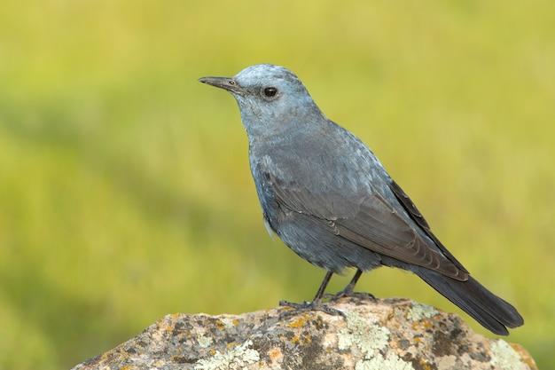 Grive bleue mâle en plumage rut avec la dernière lumière du jour dans son territoire de reproduction