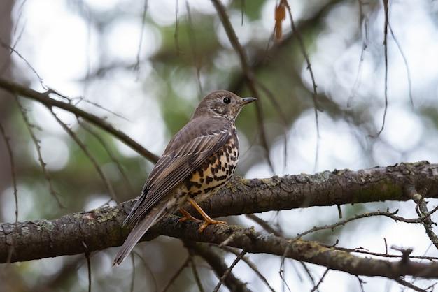 Grive des oiseaux turdus viscivorus. perché sur une branche.
