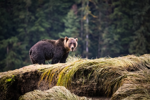 Grizzly bear en forêt