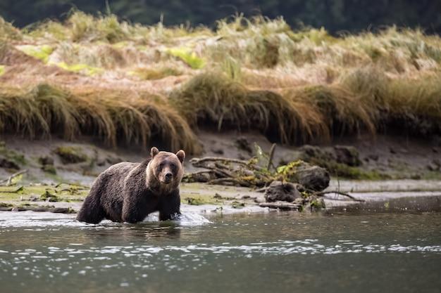 Grizzly bear en rivière