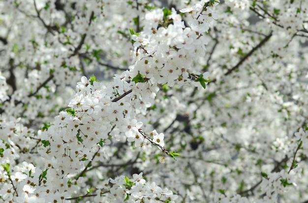Gros arbre fleuri de pommier vert à fleurs blanches