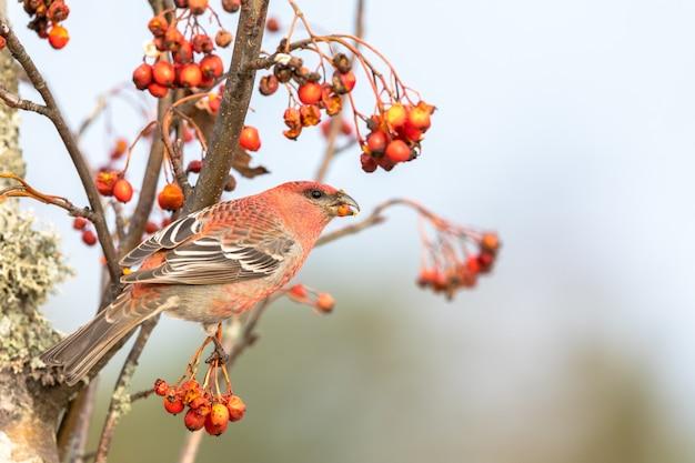 Gros bec, pinicola enucleator, oiseau mâle se nourrissant de baies de sorbus