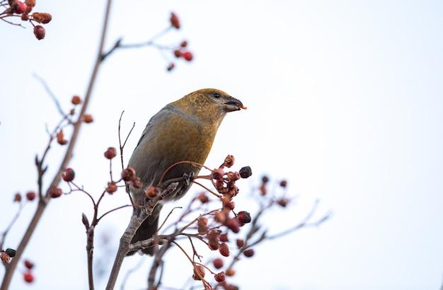 Gros-bec des pins, pinicola enucleator, femelle oiseau se nourrissant de baies