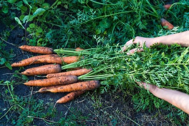 Gros bouquet de carottes dans les mains d'une femme