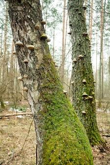 Gros champignons ligneux sur un tronc d'arbre couvert de mousse
