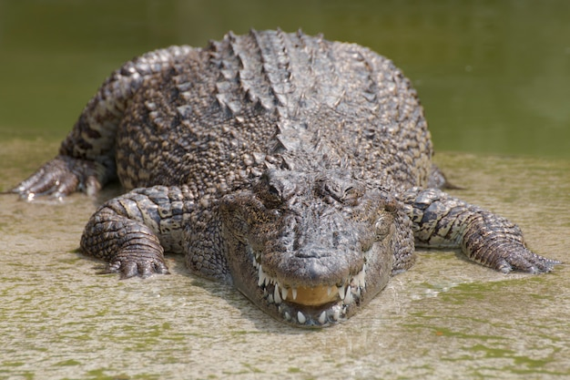 Gros chapitres des crocodiles.