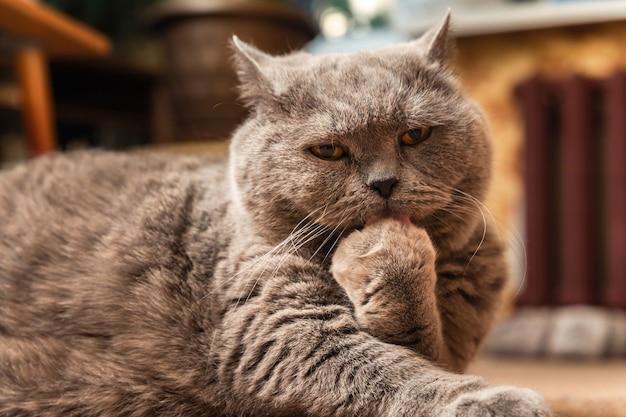 Un gros chat britannique gris est allongé sur le sol et se lèche la patte.