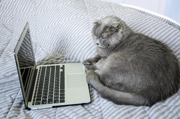 Gros chat gris de race britannique se trouve sur un lit en face d'un ordinateur portable.