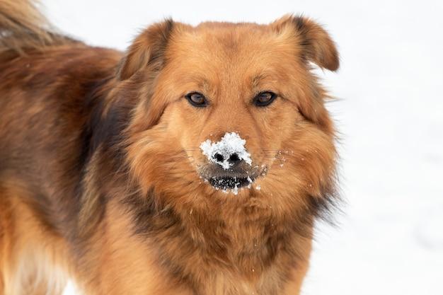 Gros chien brun moelleux avec museau couvert de neige, portrait de chien en gros plan
