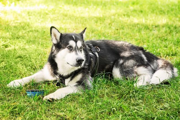Gros chien husky noir et blanc buvant sur l'herbe dans le parc. chien couché