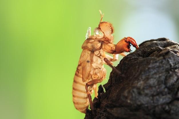Gros cigale cicada ou mue tenir sur l'arbre