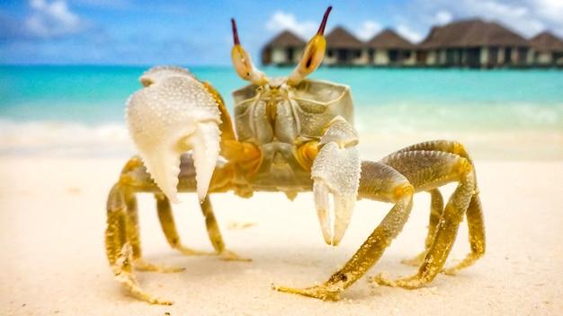 Un gros crabe a rampé sur une plage de sable blanc par une journée ensoleillée aux maldives.