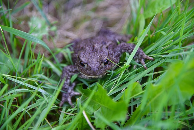 Un gros crapaud verruqueux rampant dans l'herbe