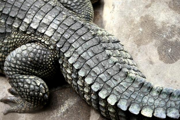 Gros crocodile dans la ferme