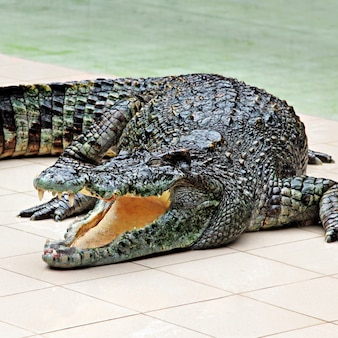 Gros crocodile