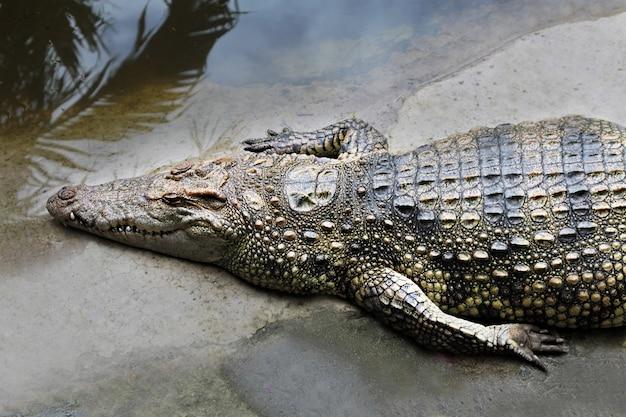 Gros crocodile