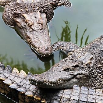 Gros crocodiles