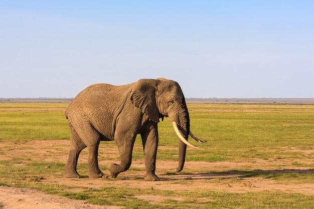 Gros éléphant dans la savane