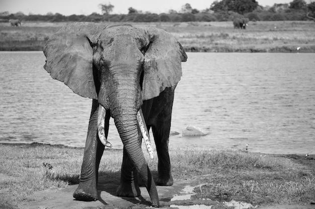 Gros éléphant rouge après la baignade près d'un point d'eau