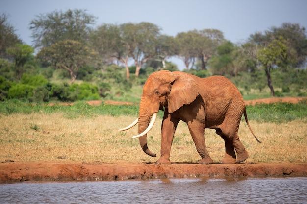 Un gros éléphant rouge marche sur la rive d'un trou d'eau