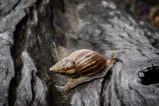Gros escargot en coquillage rampant sur du bois