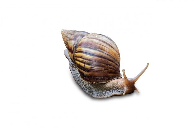 Gros escargot en coquille rampant isolé